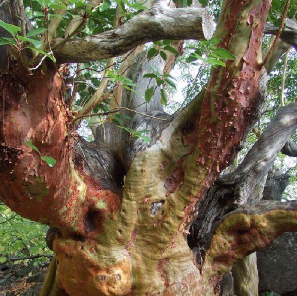Дерево с украини