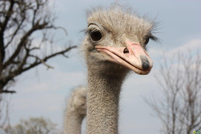 """Результат пошуку зображень за запитом """"страусиная ферма хуст зима"""""""