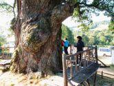 Самые старые деревья Украины