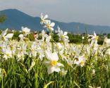 Тур на цветение Долины нарциссов в Закарпатье на 9 мая