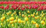 Тур в Черновцы + Долина тюльпанов
