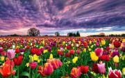 Фестиваль тюльпанов в Кропивницком