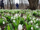 Первоцветы Холодного Яра