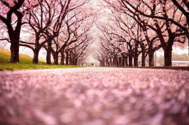 «Сакура-тур» на Закарпаття: цвітіння сакур і магнолій
