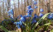 Шаровка и первоцветы в Слобожанском
