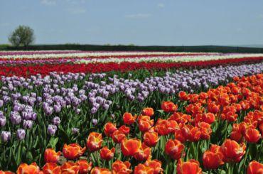 Чернівці - український Париж+долина тюльпанів