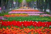 Тюльпанове диво в серці України