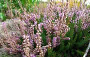 Межреченский парк: цветение вереска