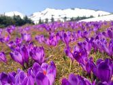Весна в Карпатах! Драгобрат + Долина крокусів + Яремче!