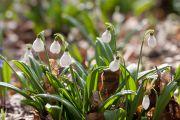 Первоцвіти Холодного яру