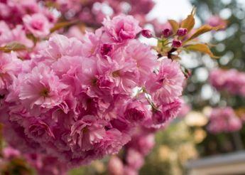 Цвітіння сакури у Ужгороді (сакура-фест 2020) та історичні пам'ятки Ужгорода