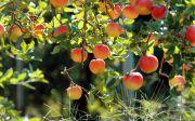 Яблучний Спас: святкування і традиції