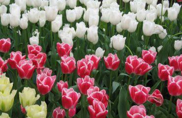 Фестиваль тюльпанов «Тайны Пасхальной Писанки», Киев