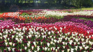 Выставка тюльпанов на Певческом поле 2018, Киев