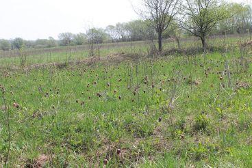 Долина диких тюльпанів, Надітичі