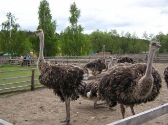 Ostriches Valley