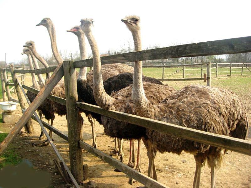 Картинки по запросу місто хуст страусина ферма