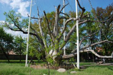 Комплекс «700-річний Запорізький дуб»
