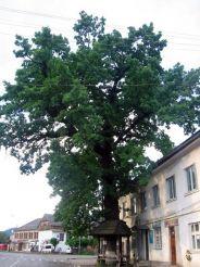 500-летний дуб, Межигорье