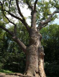 Юзефинский дуб