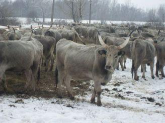 Ферма венгерских серых коров, Ботар