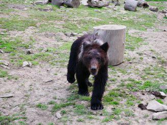 Реабилитационный центр бурого медведя, Синевир