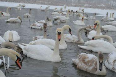 Лебединое озеро, Чертория