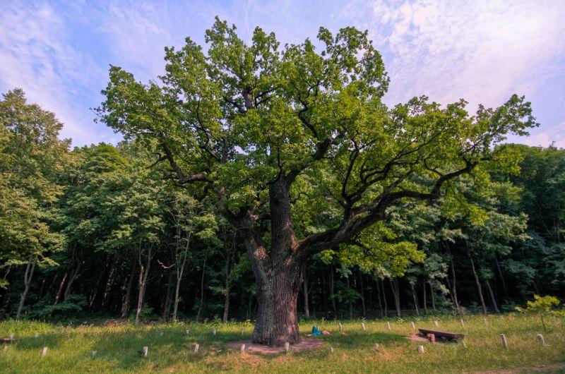 Кочубеевские дубы, Диканька — фото, описание, карта