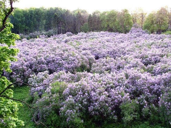 c5554914333f Lilac Garden · Lilac Garden ...