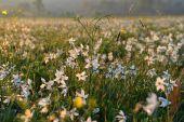 На Закарпатті цвіте унікальна Долина нарцисів