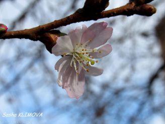 В Мукачево расцвела первая сакура