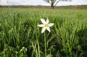 У Долині нарцисів з'явилися перші квіти