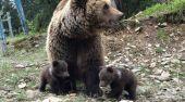 В реабилитационном центре нацпарка «Синевир» впервые родились медвежата