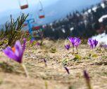 На Драгобрате цветут крокусы