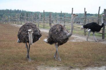 Синявская страусиная ферма
