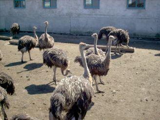 Ферма «ВІП страус», Зазим'я
