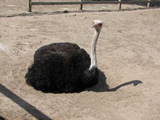 Страусина Ферма «Кременівський страус»